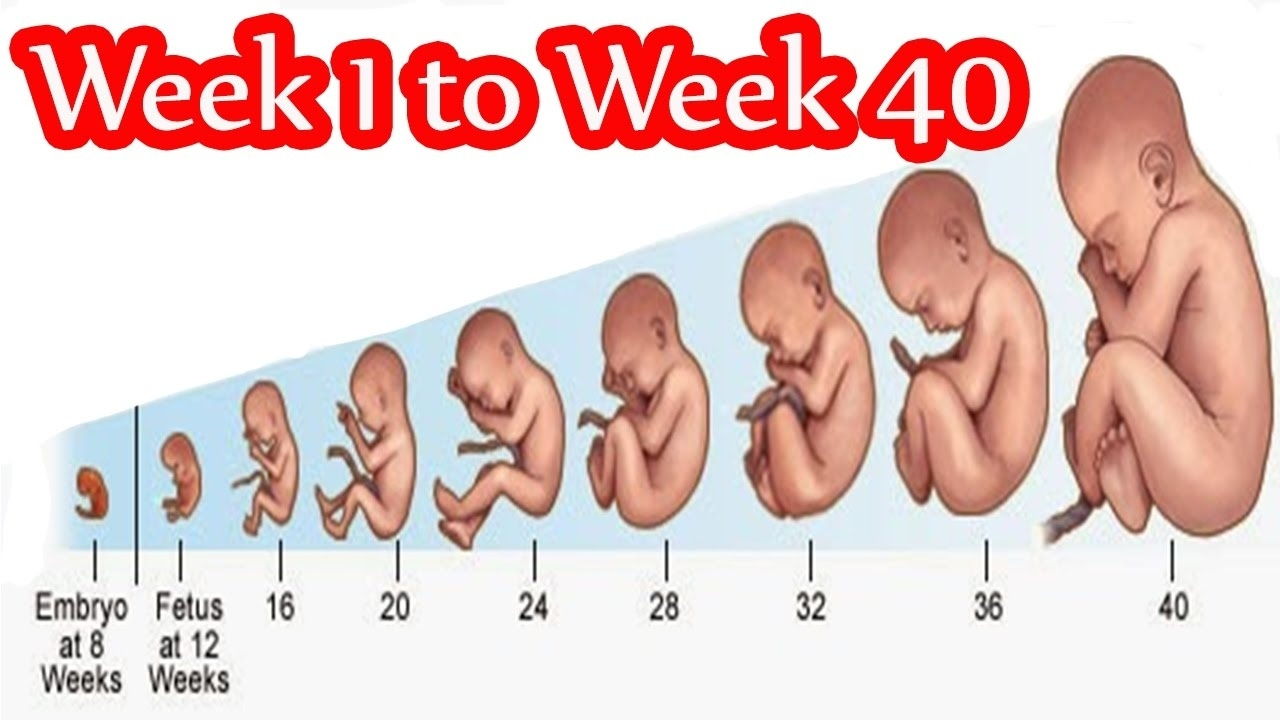 Pregnancy Weekweek- Fetal Development Week 1 To 40 In Mother's  Pregnancy Timeline Week By Week