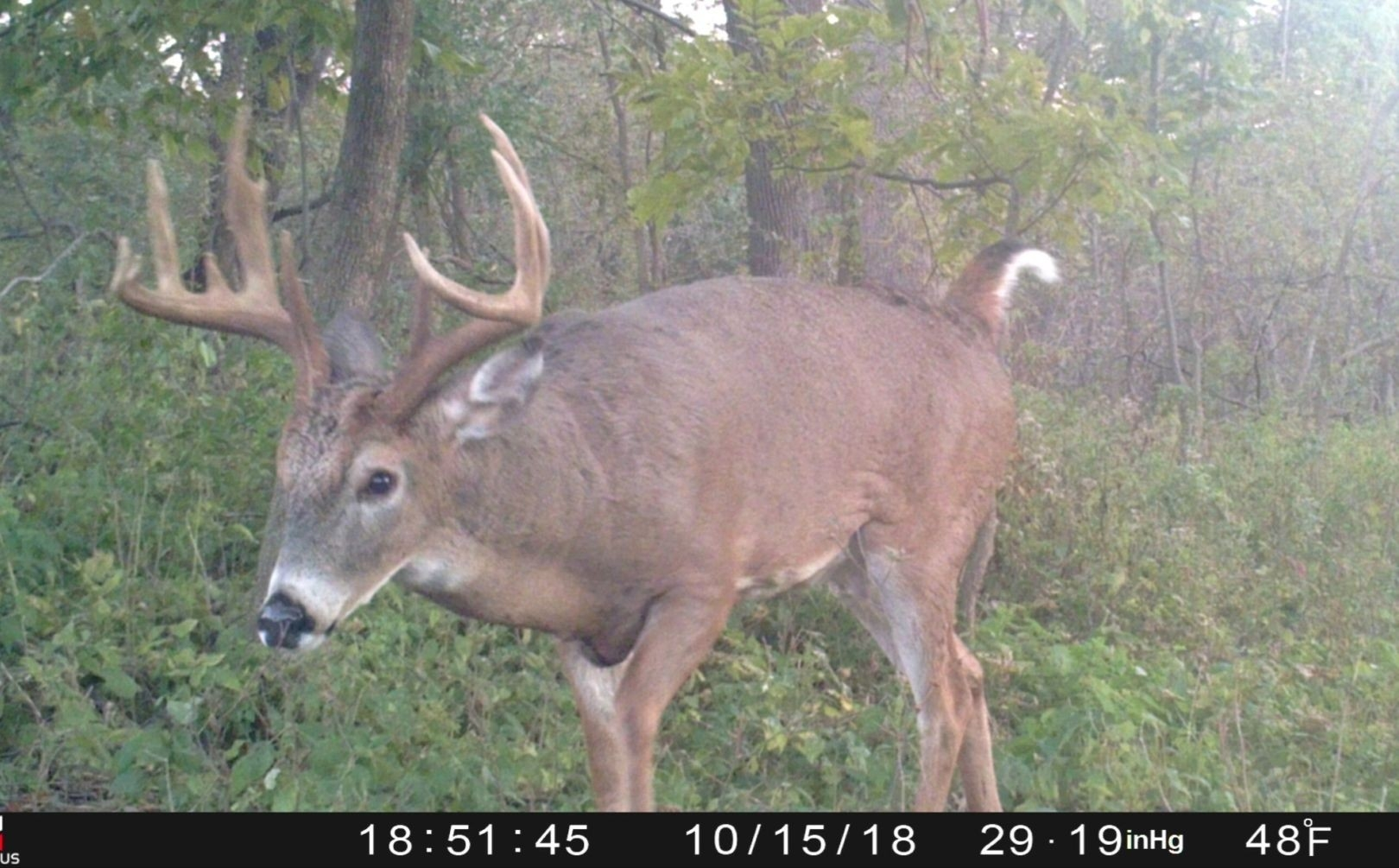 When Will The Whitetail Rut Begin | Whitetail Habitat Solutions  Deer Rut Forecast 2020