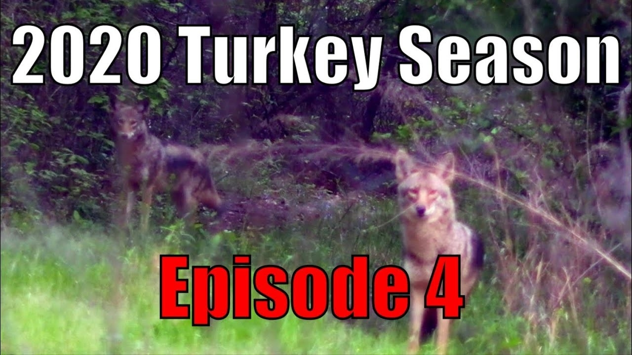 Coyotes Chasing Turkey! Georgia Turkey Hunting Mishaps! 2020 Turkey Season-  Ep. 4.  When Is The Rut In Georgia 2020