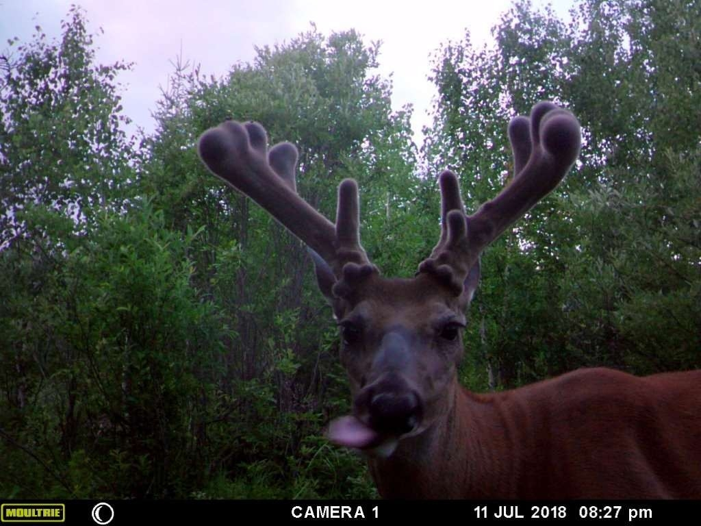 Whitetail Deer Hunting In Rut, 2020  When Is Rut 2020