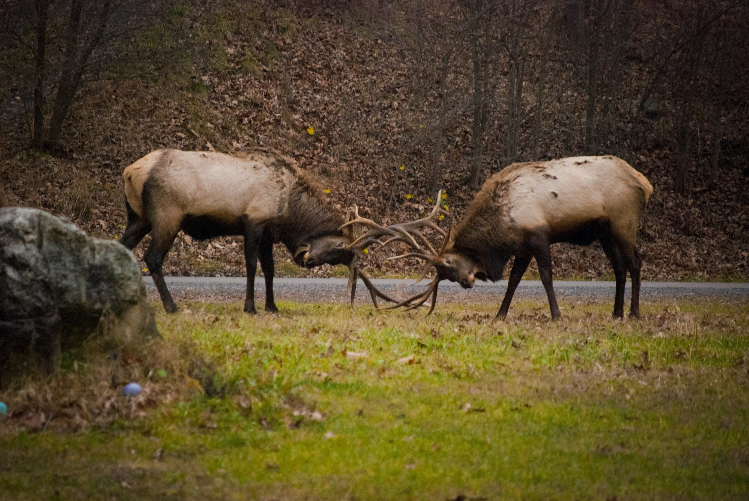 It'S Not All About The Bugle… 5 Reasons Not To Visit Elk  When Will The Rut Be In Pa In 2021