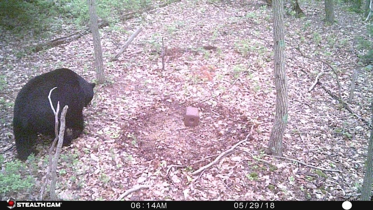 Nj Bear Rut - The Hunting Beast  Rut In Nj