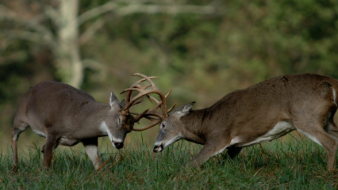 North Carolina 2020-2021 Whitetail Deer Hunting Rules And  When Is Deer  Rut Season In  Gastonia Nc 2021