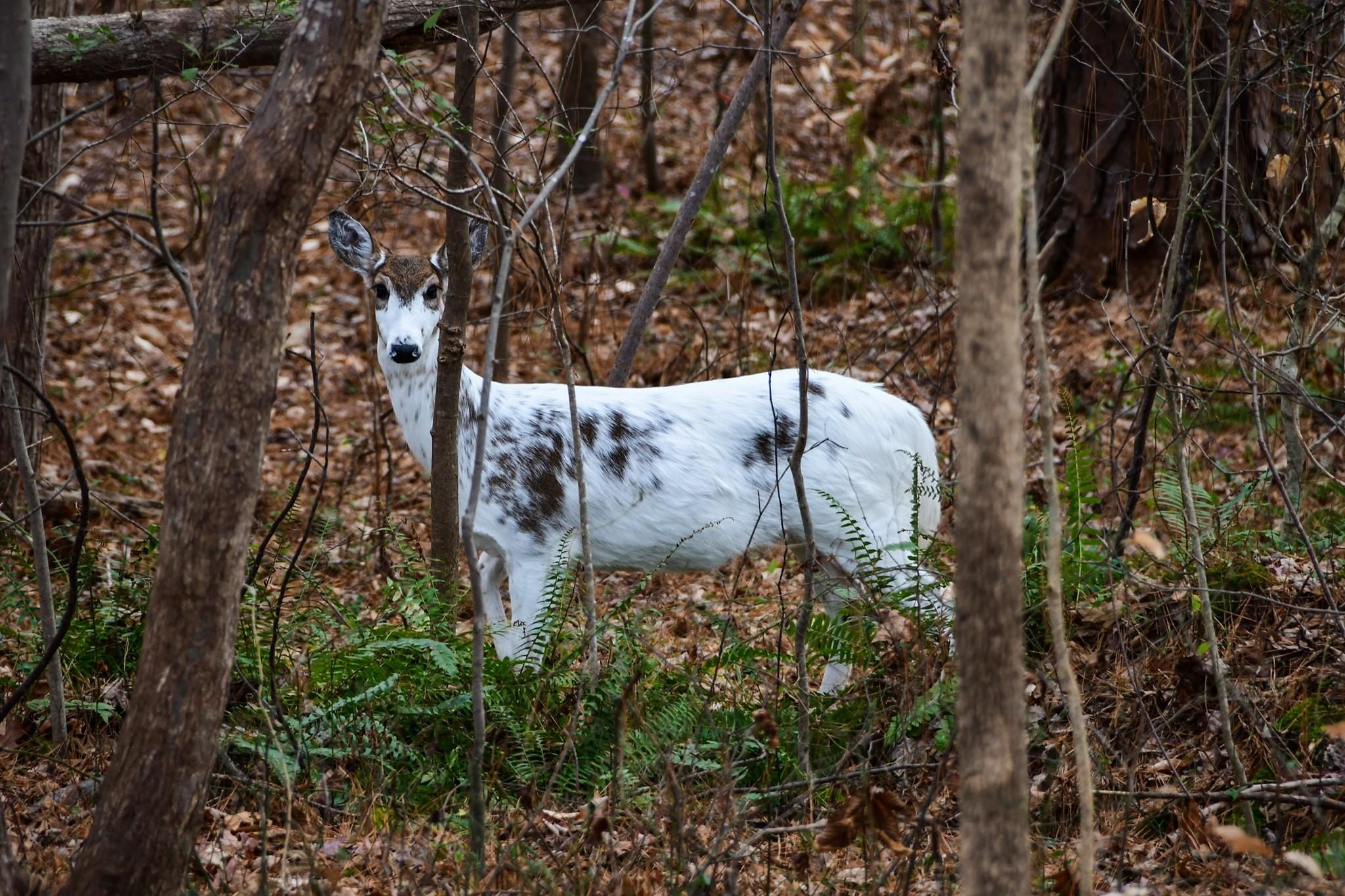 Rare Piebald Deer Spotted In Cary - Abc11 Raleigh-Durham  When Is Deer  Rut Season In  Gastonia Nc 2021