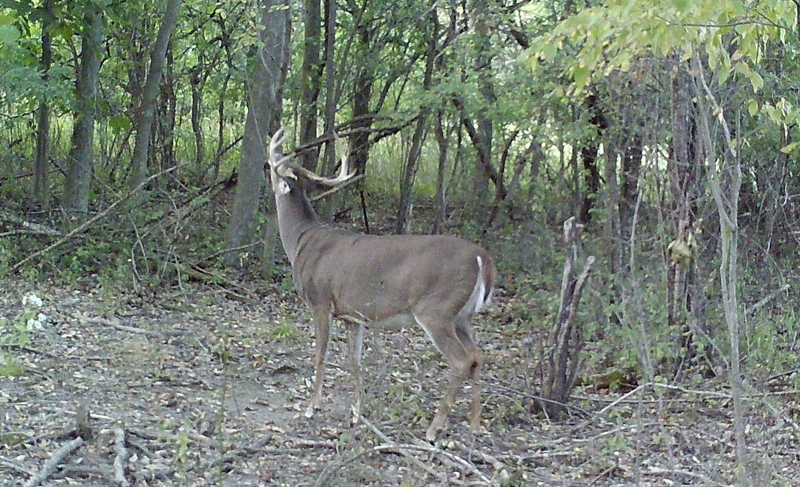 The Lull: Quiet Prelude To The Rut  Deer Rut Nys