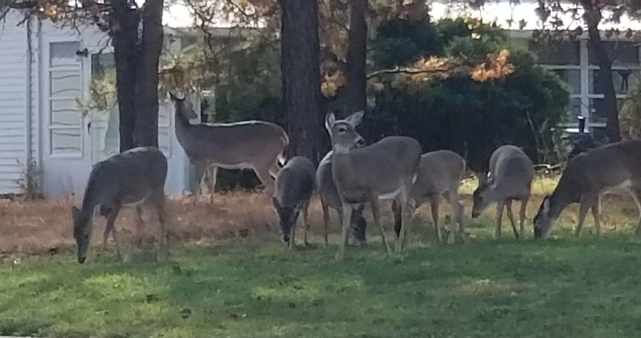 Too Many F***Ing Deer In Nj  Rut In Nj