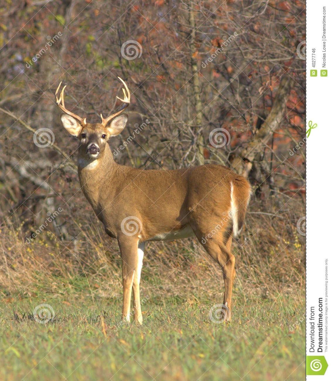 White-Tailed Deer Stock Photo. Image Of Artiodactyla - 40277746  North Kansas Deer Rut Season