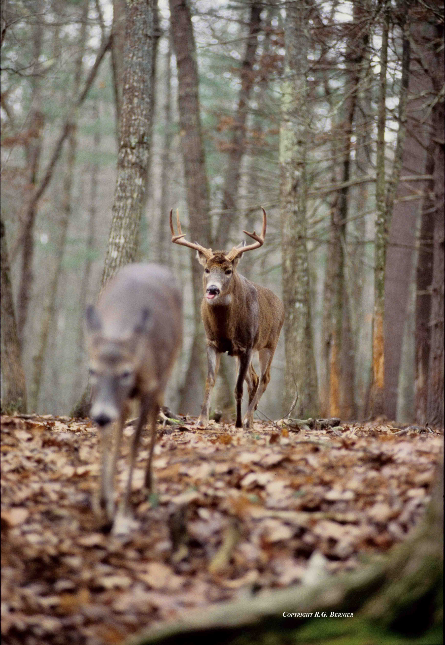 2011 Rut Recap - Misconceptions And Unbelief | Bigwhitetail  The Lunar Rut Theory