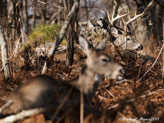 Bradley Myers Photo Blog: Snp Whitetail Rut 2011  Pa Whitetail Deer Rut