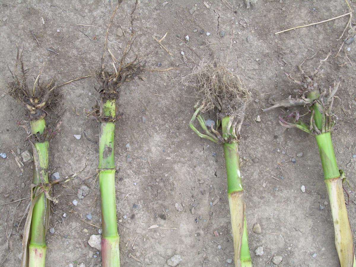 Corn Rootworm Management | Ohioline  When Is The Peek Rut In Nobel County Ohio Prdicted