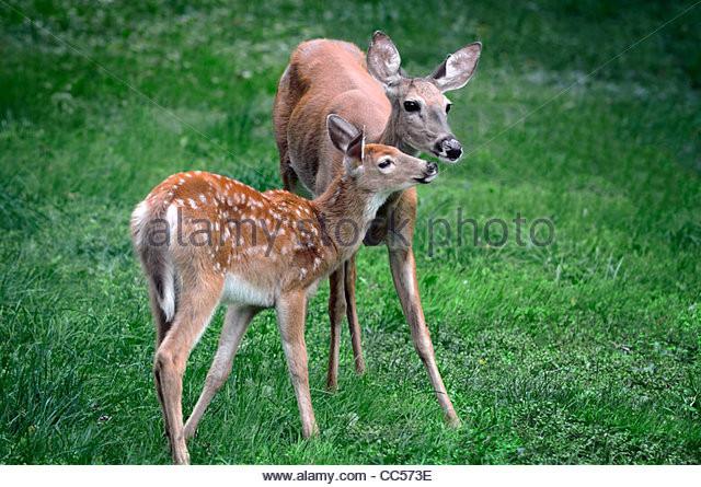 Indiana 2021 Whitetailed Deer Rut Date   Calendar  Deer Rut Southern Indiana 2021