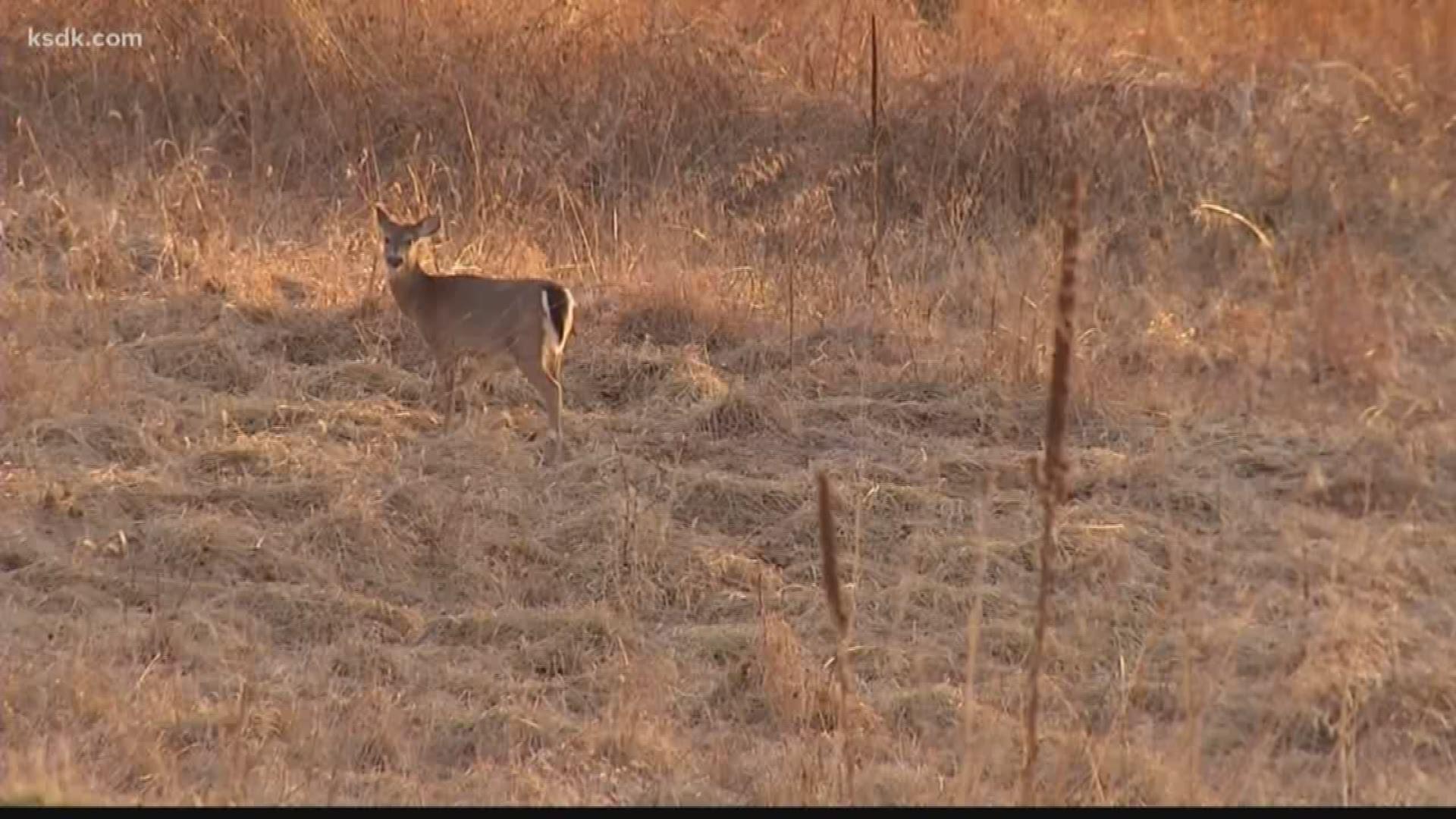 Missouri Turkey Hunter Kills Bobcat That Attacked Him  2021 Illinois Whitetail Season Outlook
