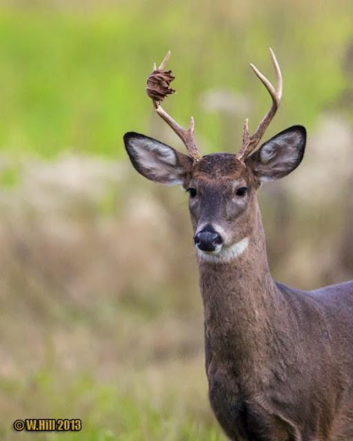 Pennsylvania Wildlife Photographer: The Leaves Change  Pa Whitetail Deer Rut