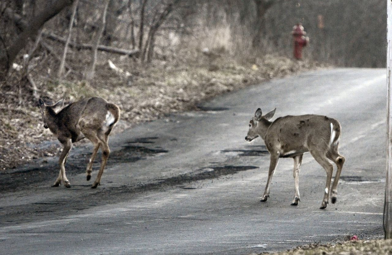What Upstate Ny Drivers Should Know To Avoid Hitting Deer  Deer Rut In Ny