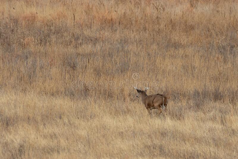 Whitetail Deer Bucks In The Fall Rut Stock Image - Image  Timing For Whitetail Deer Rut In Penna