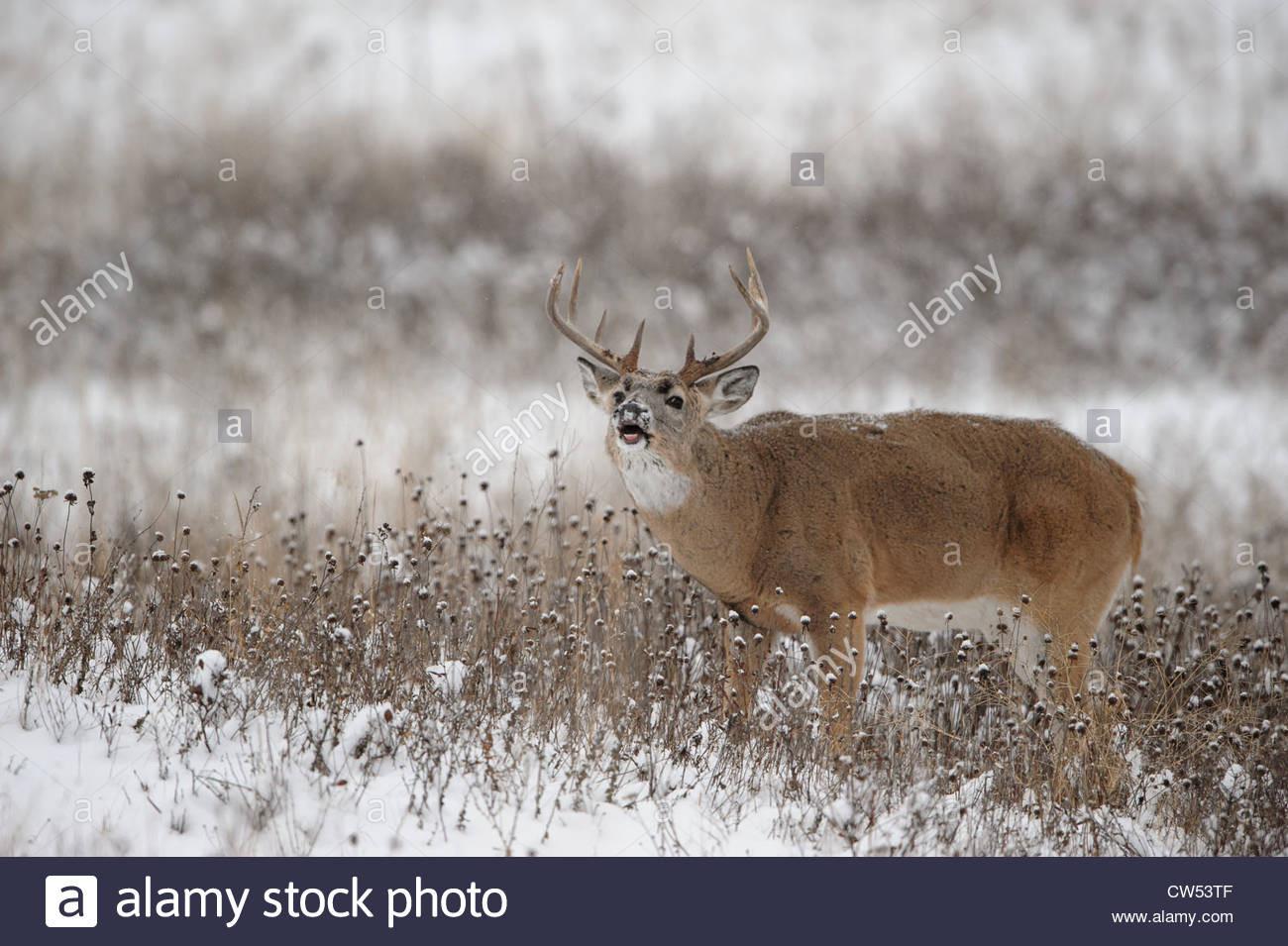 Whitetail Deer Snow Stock Photos & Whitetail Deer Snow  Deer Rut In Ny