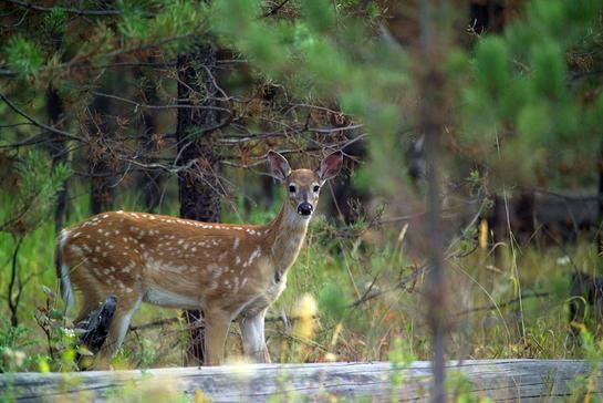 Whitetail Facts: 16 Things To Know About Fawns | Fawn  The Lunar Rut Theory