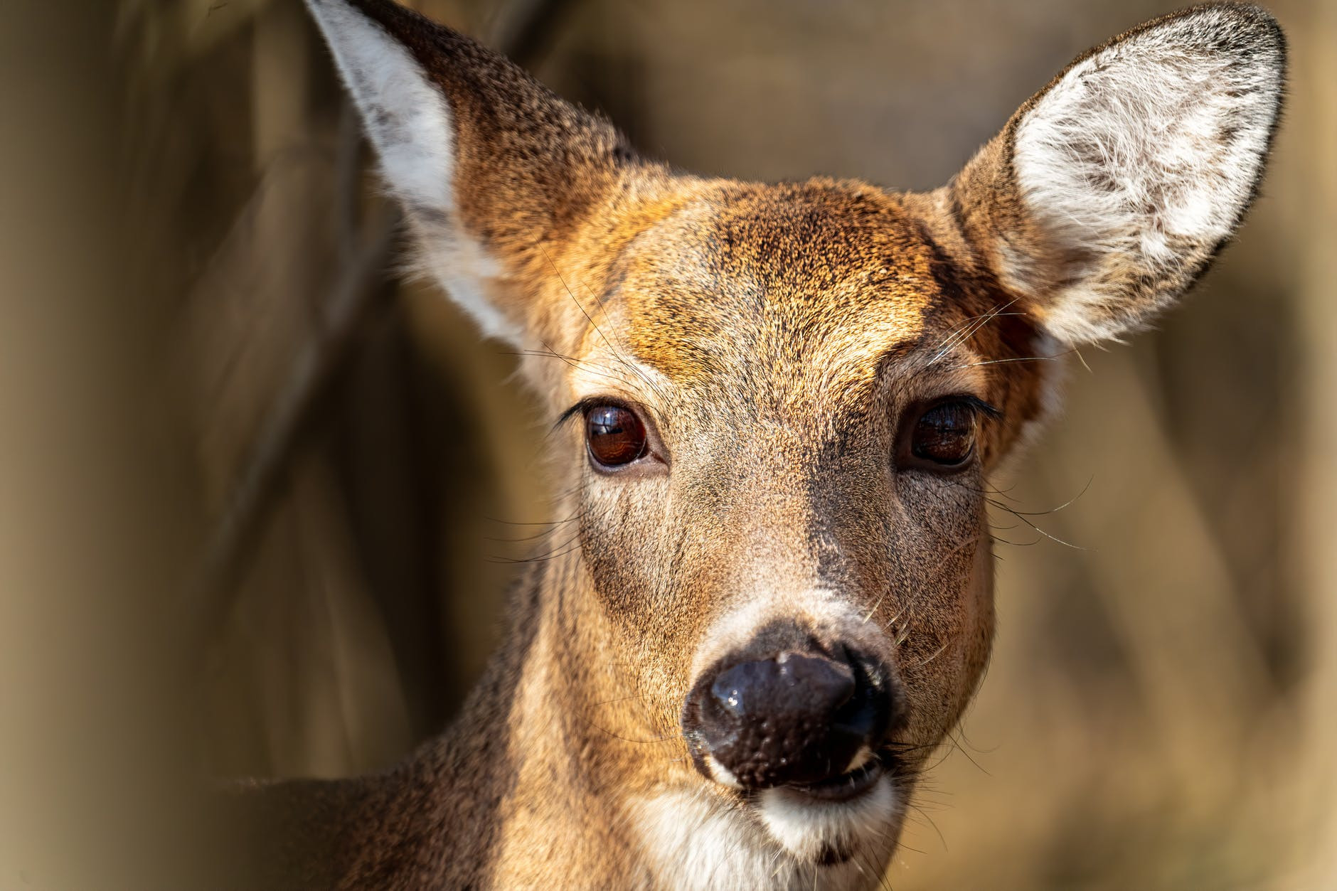 Politics And White-Tailed Deer Management: Yep, There Is A  Ny Deer Rut